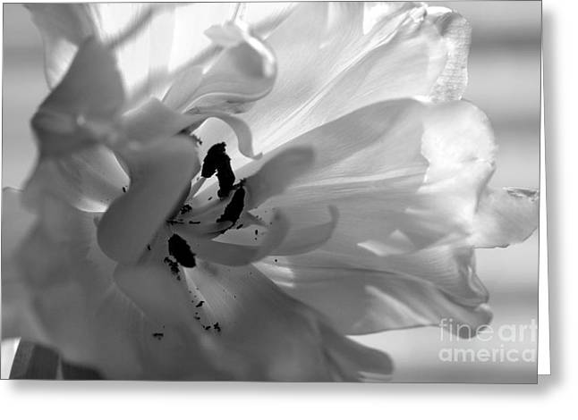 Backlit Black And White Tulip Greeting Card by Sharon Talson