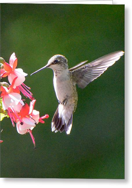Backlit Fuchsia And Hummer Greeting Card