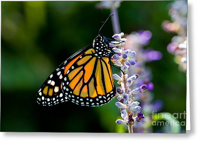 Backlit Monarch Butterfly  Greeting Card by Oscar Gutierrez