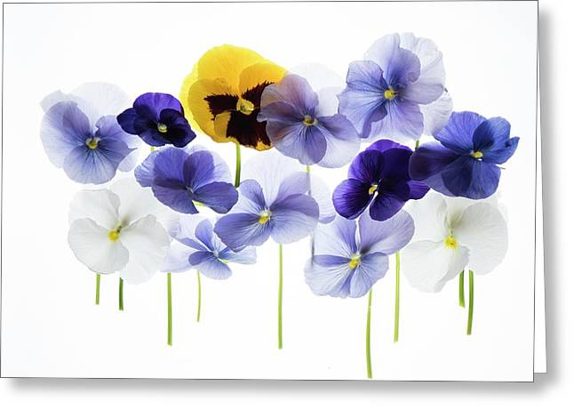 Backlit Pansies Greeting Card by Photostock-israel/science Photo Library