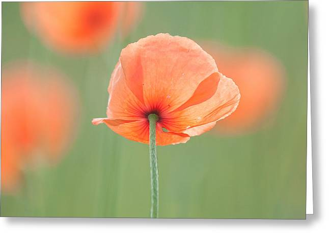 Backlit Poppies Greeting Card