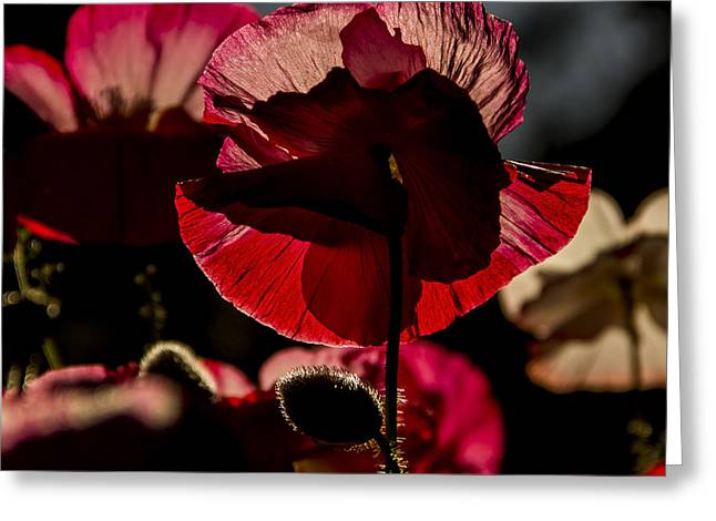 Backlit Poppy #2 Greeting Card