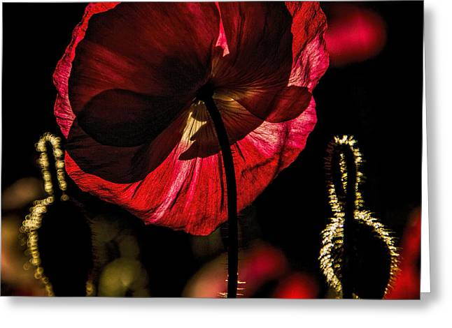 Backlit Poppy Greeting Card