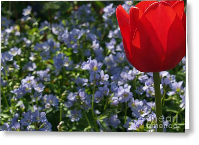 Backlit Tulip And Jacob's Ladder Greeting Card by Anna Lisa Yoder