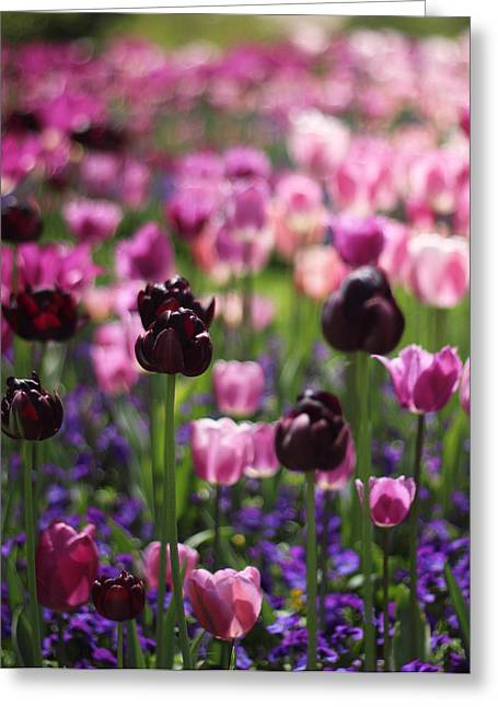 Backlit Tulips Greeting Card by Jessica Jenney