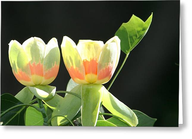 Backlit Tulips Greeting Card