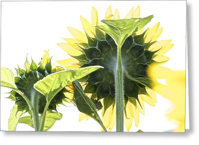 Backside Of Sunflower Greeting Card