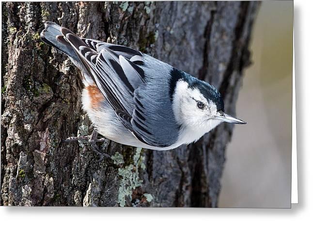 Backyard Birds Nuthatch Greeting Card by Bill Wakeley