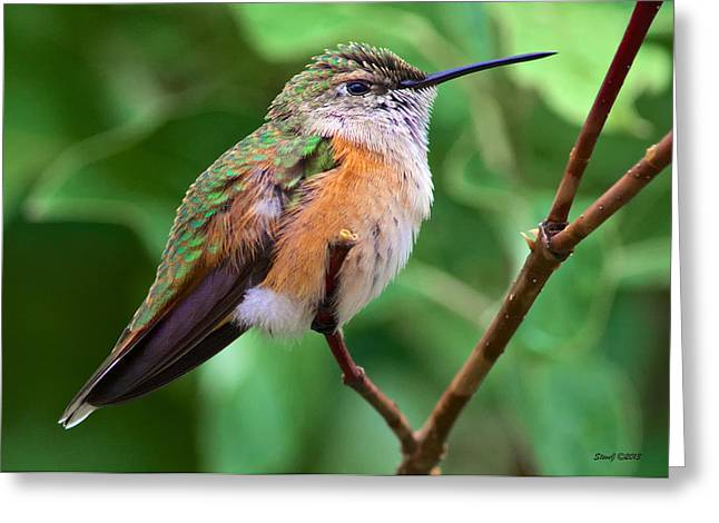Backyard Broad Tailed Hummingbird Greeting Card by Stephen  Johnson
