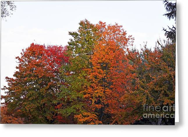 Backyard Trees Greeting Card by Judy Wolinsky