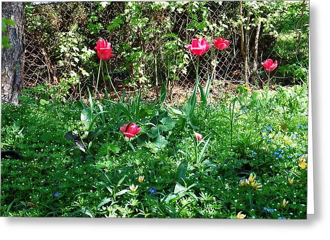 Backyard Tulips Greeting Card