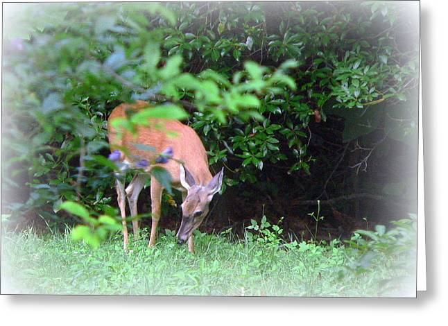 Backyard Whitetail Deer 2 Greeting Card by Jo Anna Wycoff