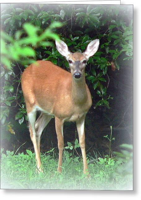 Backyard Whitetail Deer Greeting Card by Jo Anna Wycoff