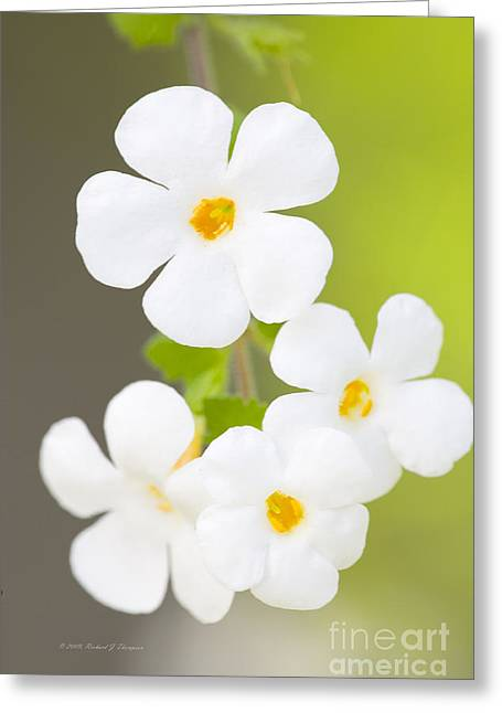 Bacopa 'snowstorm' Greeting Card