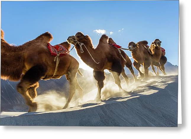 Bactrian Or Double Humped Camels Greeting Card by Peter Adams
