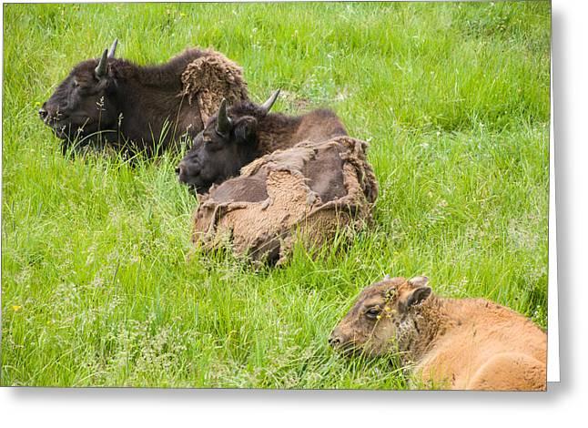 Bison Bad Fur Day Greeting Card