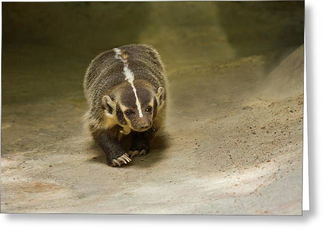Badger (taxidea Taxus Greeting Card