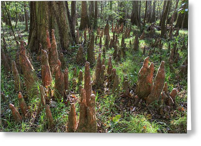 Bald Cypress Knees In Congaree National Park Greeting Card by Pierre Leclerc Photography