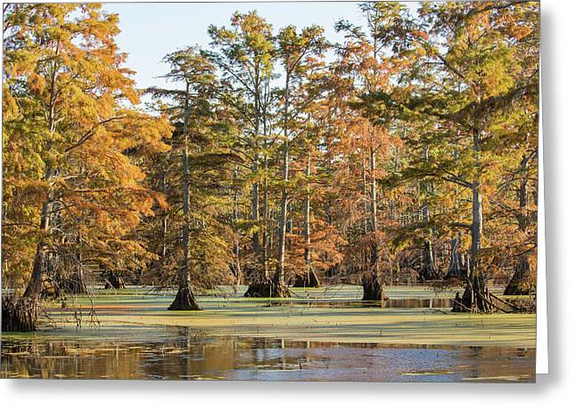 Bald Cypress Trees In Swamp, Horseshoe Greeting Card by Panoramic Images