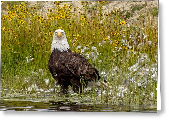Bald Eagle @ Lunch  Greeting Card