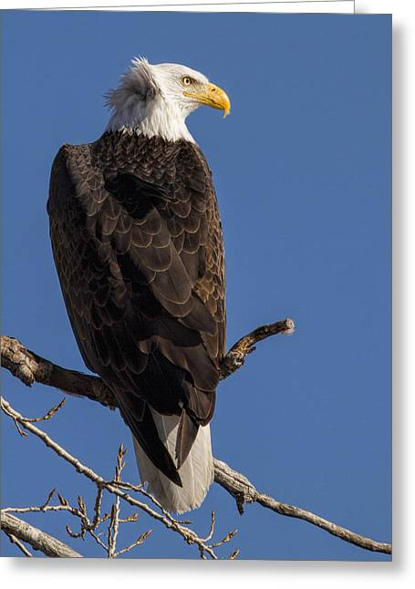 Bald Eagle 1 Greeting Card