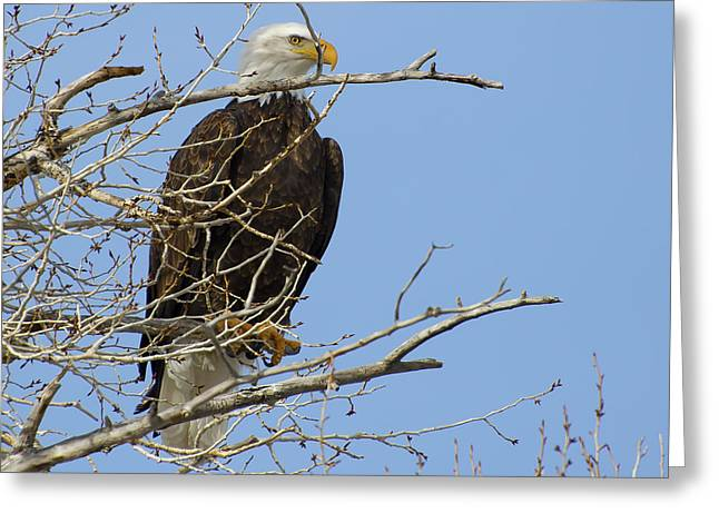 Bald Eagle And Branches 2 Greeting Card by Eric Nielsen