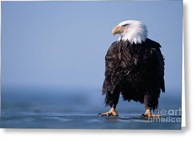 Bald Eagle At Low Tide Greeting Card