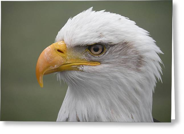 Bald Eagle Greeting Card by Brian Chase