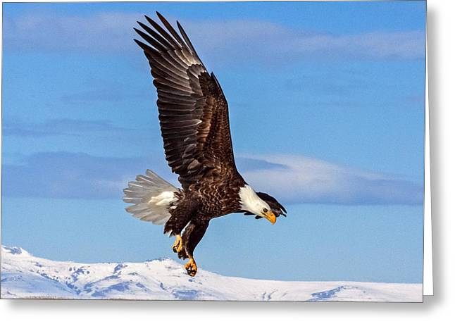 Bald Eagle Comming Down Greeting Card