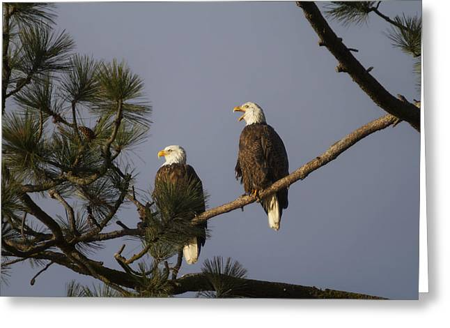 Bald Eagle Couple Greeting Card by Mark Kiver