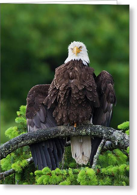 Bald Eagle Drying Wings Greeting Card