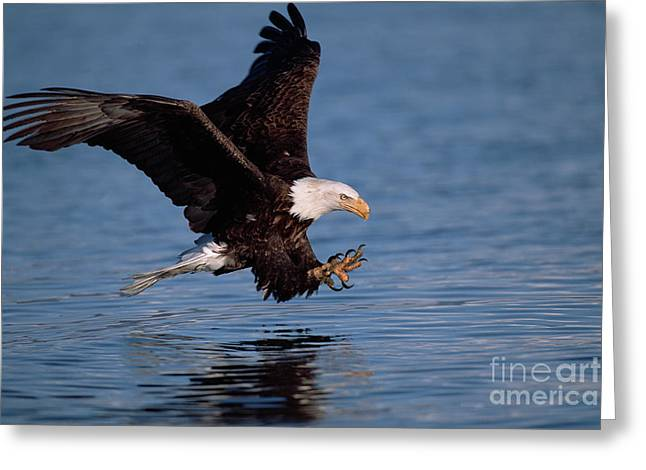 Bald Eagle Fishing Kenai Peninsula Greeting Card
