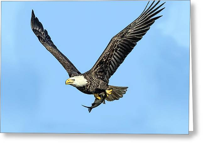 Bald Eagle Flying Holding Freshly Caught Fish Greeting Card