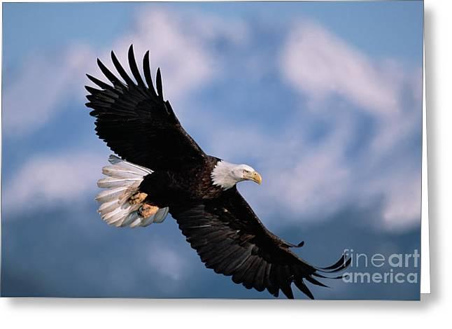 Bald Eagle Flying Kachemak Bay Greeting Card by Yva Momatiuk John Eastcott