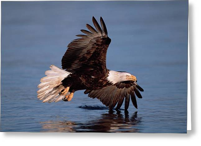Bald Eagle Flying Kenai Peninsula Greeting Card
