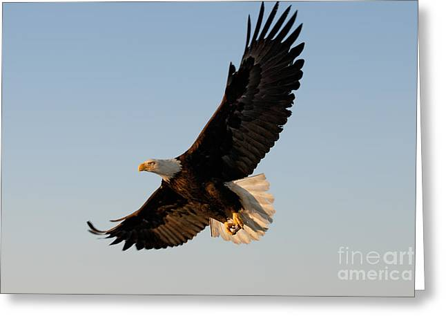 Bald Eagle Flying With Fish In Its Talons Greeting Card by Stephen J Krasemann