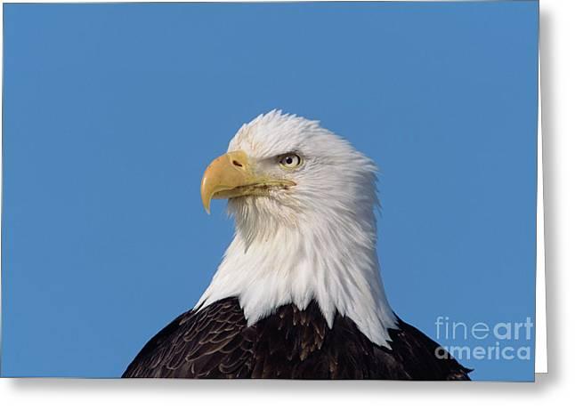 Bald Eagle In Alaska Greeting Card by Yva Momatiuk John Eastcott