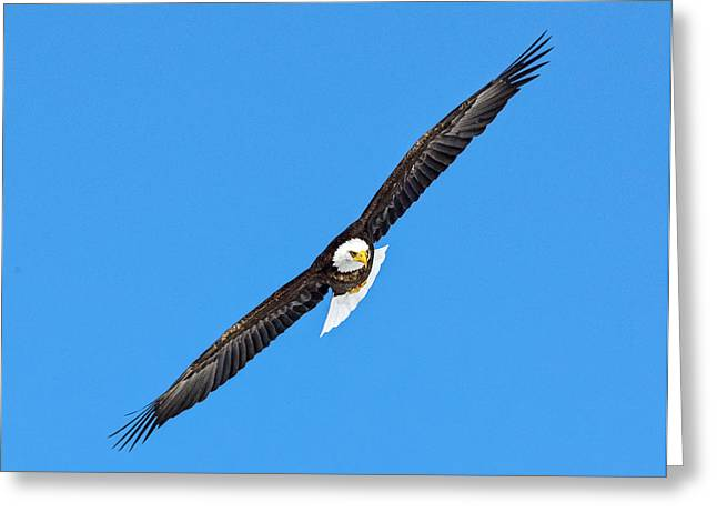 Bald Eagle In Flight Greeting Card