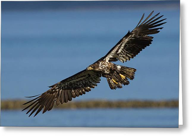 Bald Eagle In Flight, Immature Greeting Card by Ken Archer