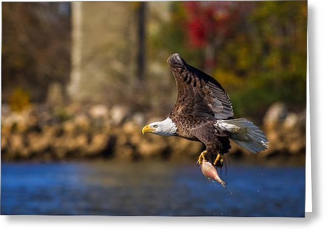 Bald Eagle In Flight Over Water Carrying A Fish Greeting Card