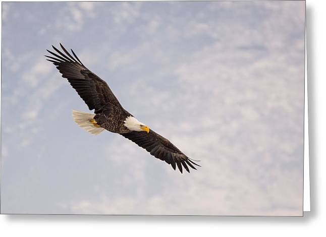Bald Eagle In Full Extension Greeting Card