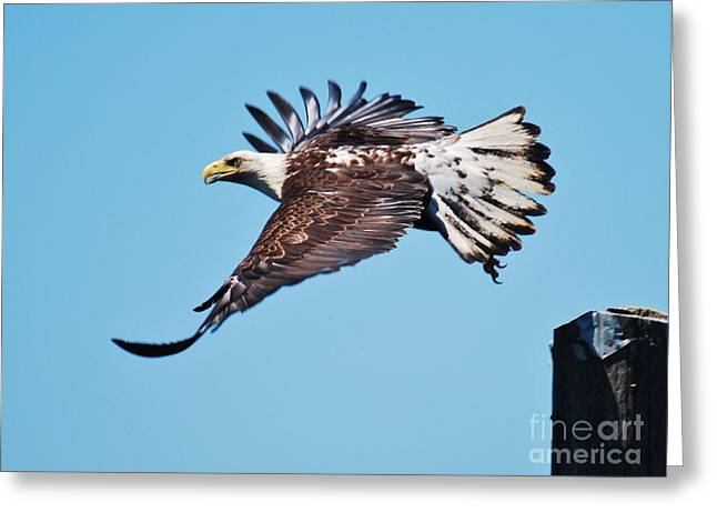 Bald Eagle In Ucluelet Greeting Card