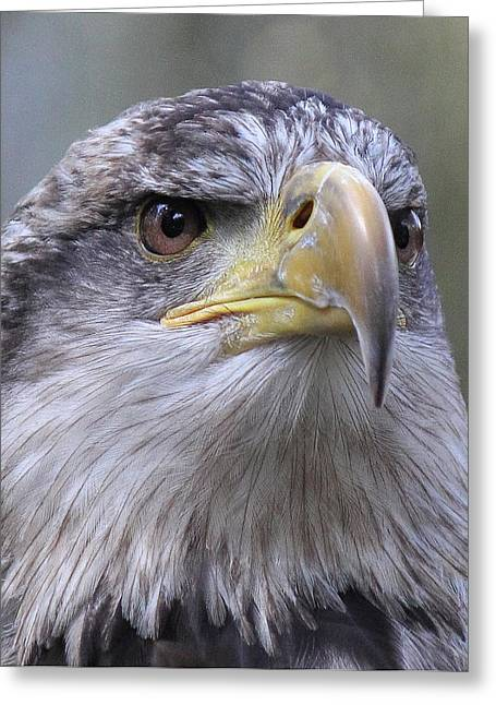 Bald Eagle - Juvenile Greeting Card