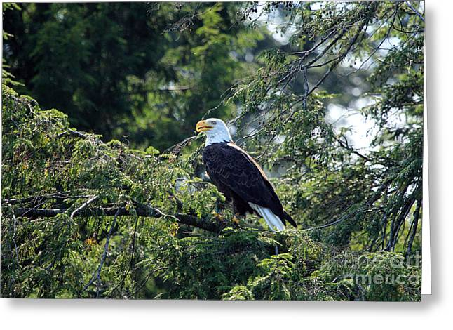 Bald Eagle Greeting Card by Kathy Eastmond