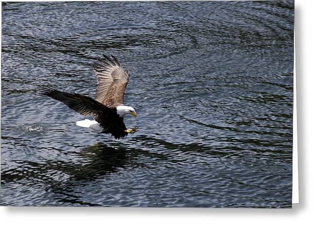 Bald Eagle Landing A Free Lunch Greeting Card