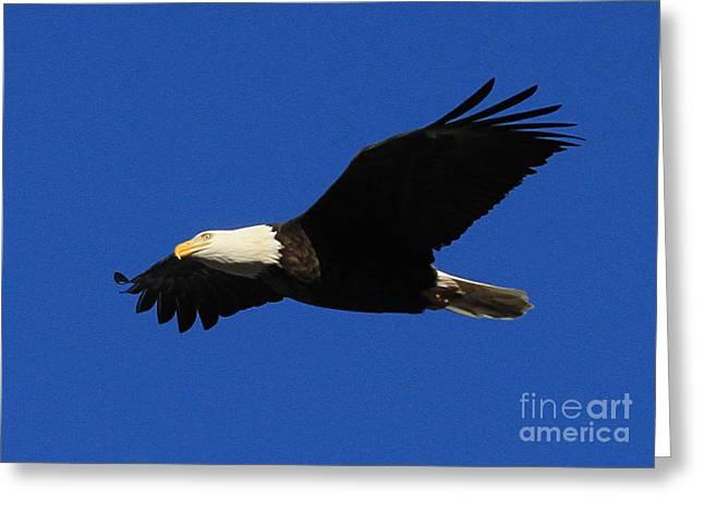 Bald Eagle Lock 14 Greeting Card by Paula Guttilla