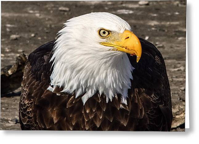 Bald Eagle Looking At You Greeting Card
