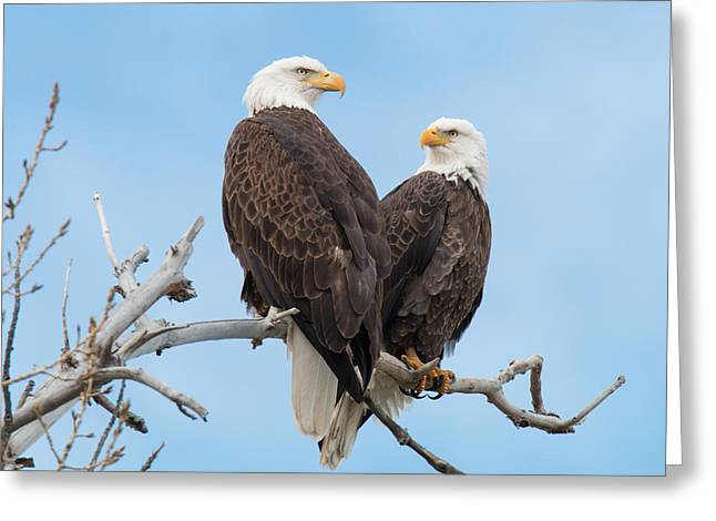 Bald Eagle Mates Form A Heart Greeting Card by Tony Hake