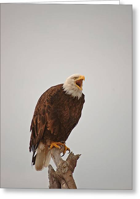 Bald Eagle On Driftwood-whidbey Island-01 Greeting Card