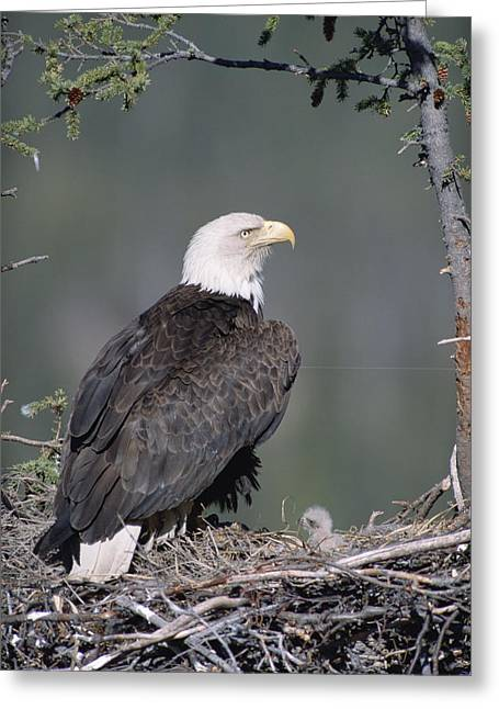 Bald Eagle On Nest With Chick Alaska Greeting Card by Michael Quinton